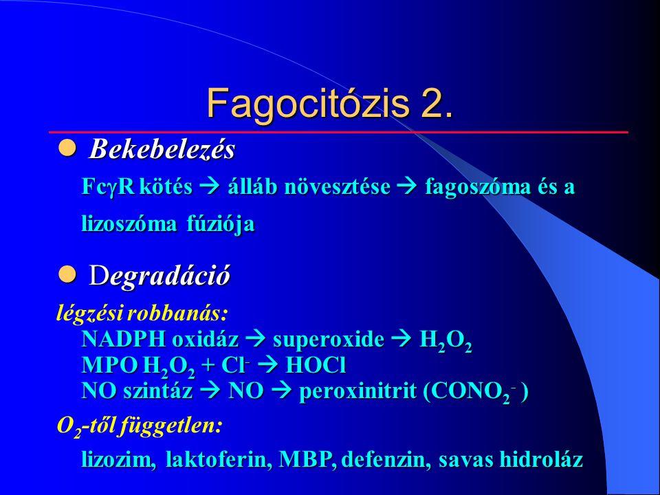 Fagocitózis 2.