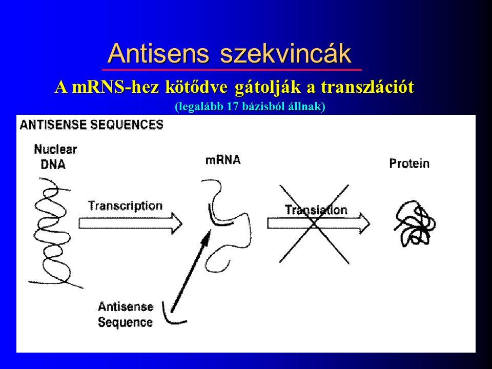 A mRNS-hez kötődve gátolják a transzlációt (legalább 17 bázisból állnak) Antisens szekvincák