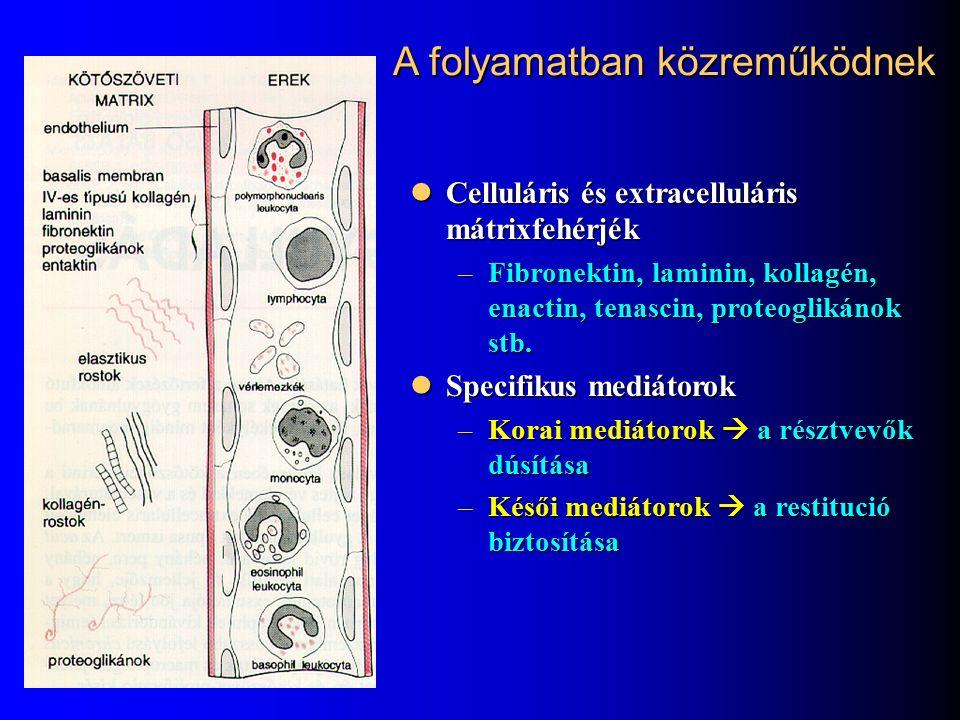 Fehérvérsejtek migrációja Margináció, rolling, adhézió Margináció, rolling, adhézió Migráció az intersticiális térbe Migráció az intersticiális térbe Felhalmozódás a gyulladásos területen (kemotaktikus jelek hatására) Felhalmozódás a gyulladásos területen (kemotaktikus jelek hatására)