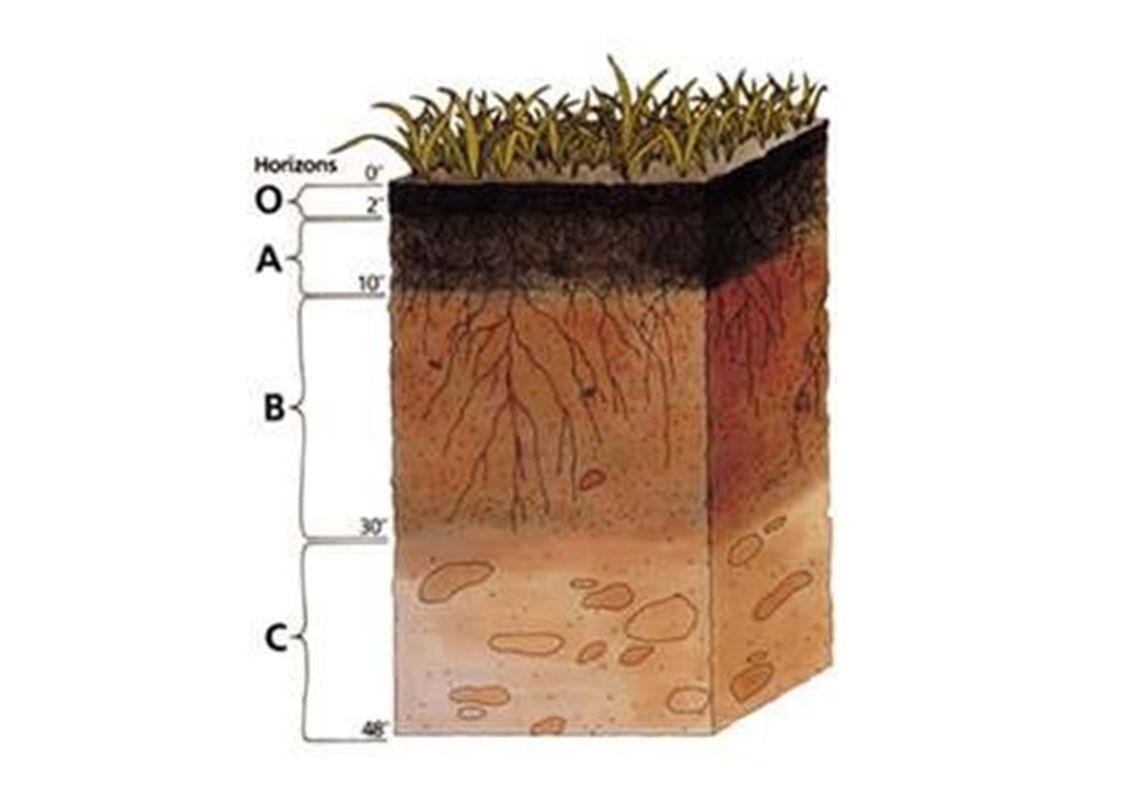 A talaj szerkezeteés az élıvilág kapcsolata Mállás>> utolsó fázis a biológiai mállás Folyamatos anyagcsere a talaj és az élılények között A növényzet jelzi a talaj tulajdonságait (alkalmazkodottság)