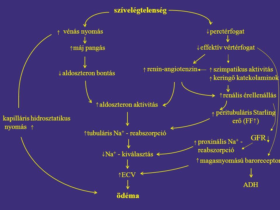 szívelégtelenség vénás nyomás máj pangás aldoszteron bontás aldoszteron aktivitás tubuláris Na + - reabszorpció Na + - kiválasztás ECV ödéma perctérfogat effektív vértérfogat renin-angiotenzin szimpatikus aktivitás keringő katekolaminok renális érellenállás peritubuláris Starling erő (FF ) proxinális Na + - reabszorpció magasnyomású baroreceptor ADH GFR kapilláris hidrosztatikus nyomás