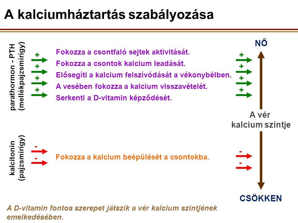 A vér kalcium szintje NŐ parathormon - PTH (mellékpajzsmirigy) + CSÖKKEN A D-vitamin fontos szerepet játszik a vér kalcium szintjének emelkedésében.