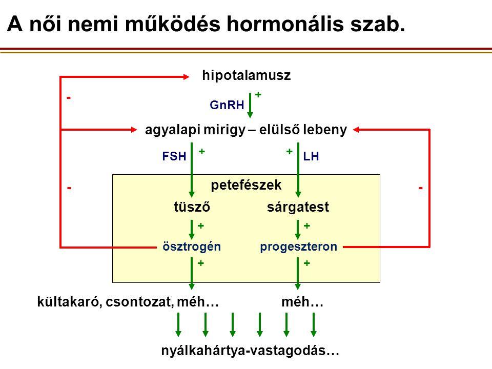 petefészek - - hipotalamusz agyalapi mirigy – elülső lebeny progeszteron kültakaró, csontozat, méh… nyálkahártya-vastagodás… ösztrogén méh… tüszősárgatest A női nemi működés hormonális szab.