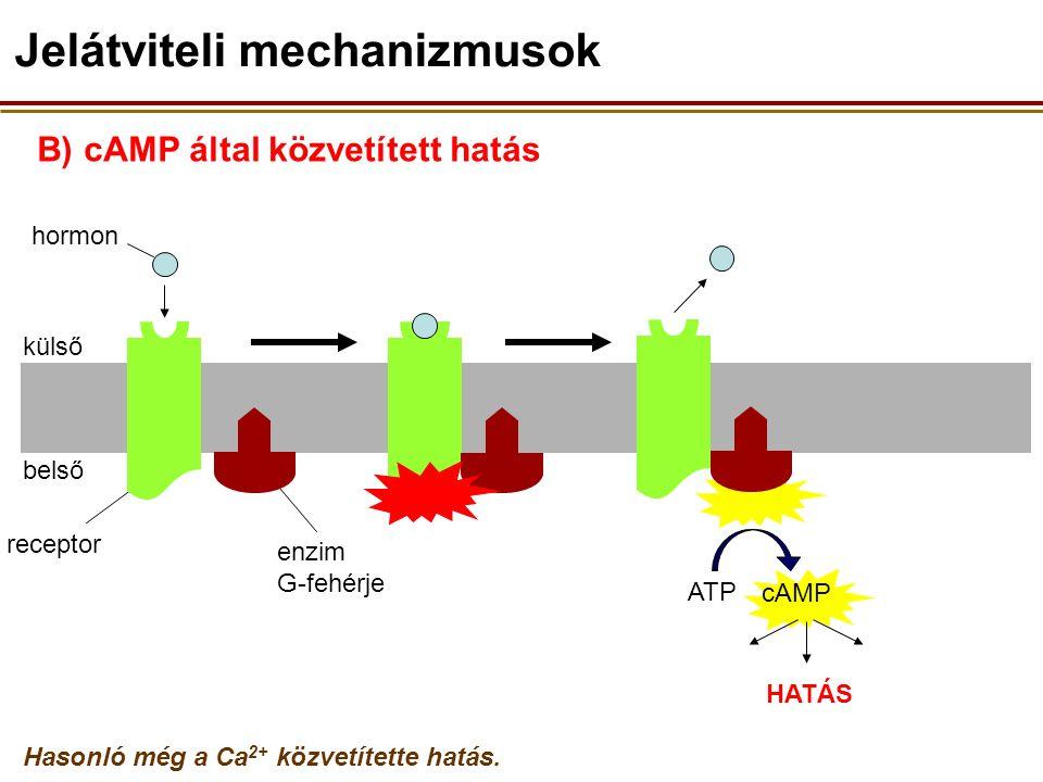 B) cAMP által közvetített hatás külső belső receptor hormon enzim G-fehérje ATP Hasonló még a Ca 2+ közvetítette hatás.