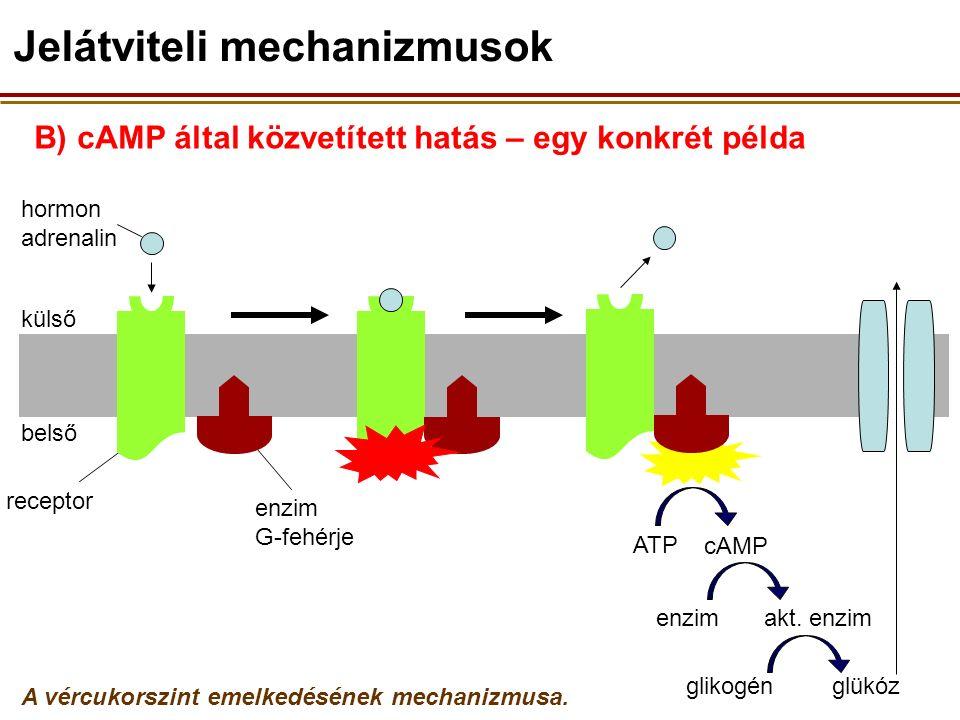 C) Az apoláris hormonok hatása intracelluláris receptorok közvetítésével (pl.