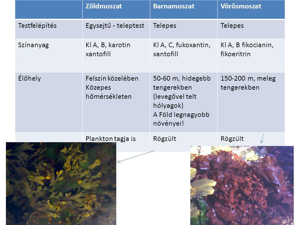 ZöldmoszatBarnamoszatVörösmoszat TestfelépítésEgysejtű - teleptestTelepes SzínanyagKl A, B, karotin xantofill Kl A, C, fukoxantin, xantofill Kl A, B fikocianin, fikoeritrin ÉlőhelyFelszin közelében Közepes hőmérsékleten 50-60 m, hidegebb tengerekben (levegővel telt hólyagok) A Föld legnagyobb növényei.