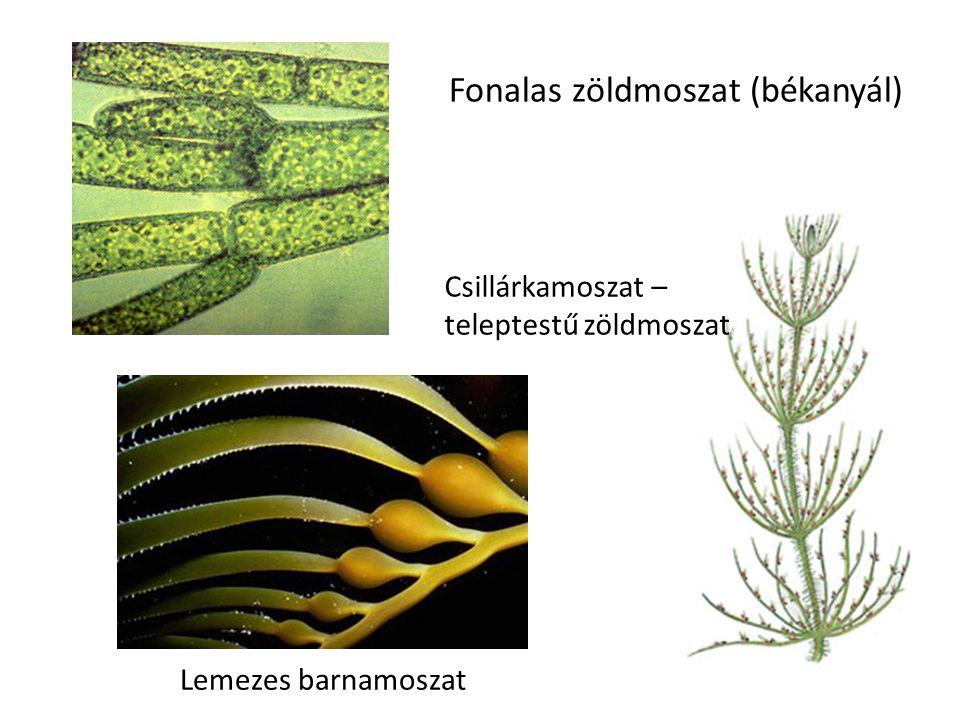 Fonalas zöldmoszat (békanyál) Lemezes barnamoszat Csillárkamoszat – teleptestű zöldmoszat