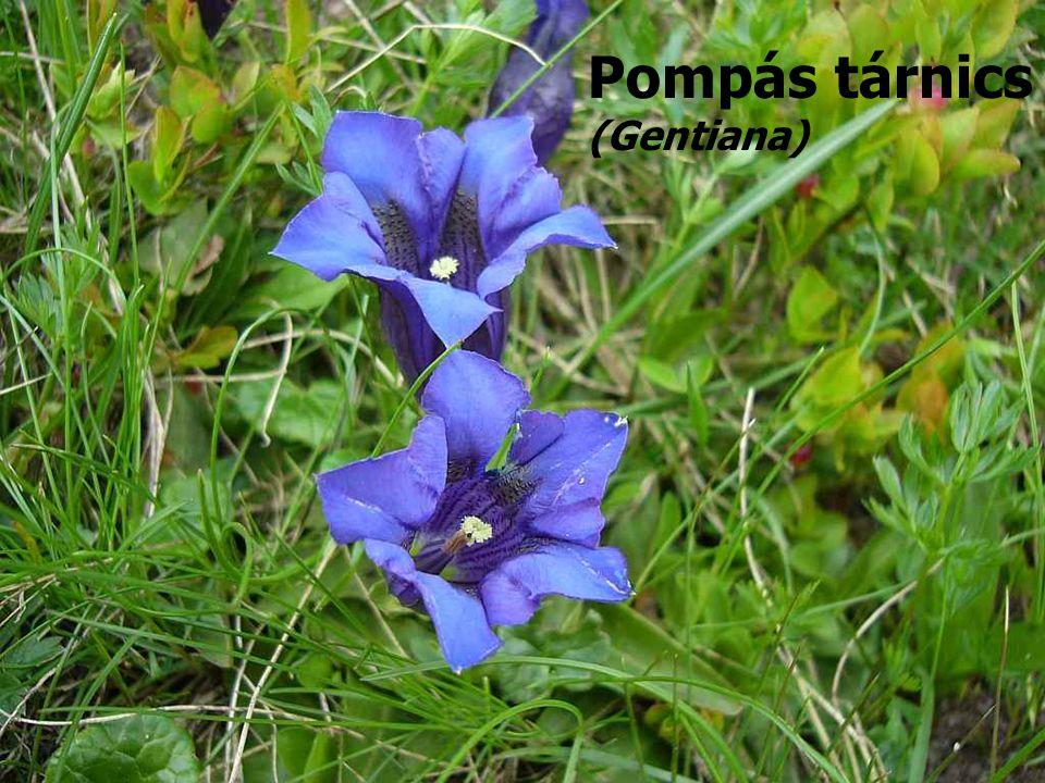 Pompás tárnics (Gentiana)