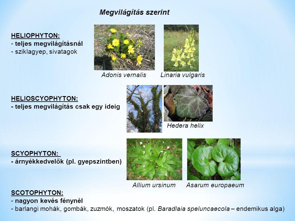 HELIOPHYTON: - teljes megvilágításnál - sziklagyep, sivatagok Adonis vernalis Linaria vulgaris HELIOSCYOPHYTON: - teljes megvilágítás csak egy ideig SCYOPHYTON: - árnyékkedvelők (pl.