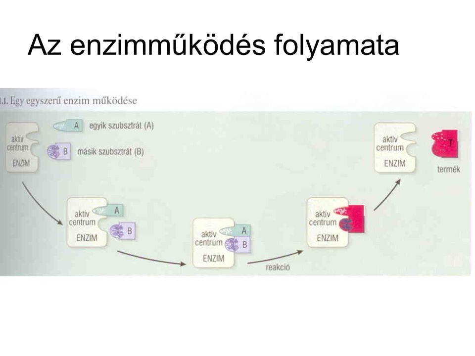 Az enzimműködés folyamata