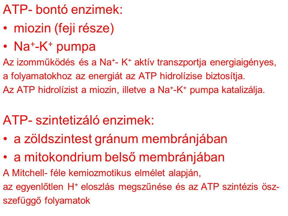 ATP- bontó enzimek: miozin (feji része) Na + -K + pumpa Az izomműködés és a Na + - K + aktív transzportja energiaigényes, a folyamatokhoz az energiát az ATP hidrolízise biztosítja.