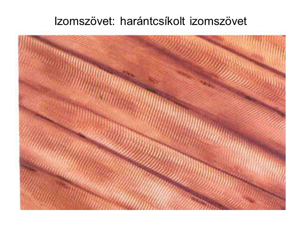 Izomszövet: harántcsíkolt izomszövet