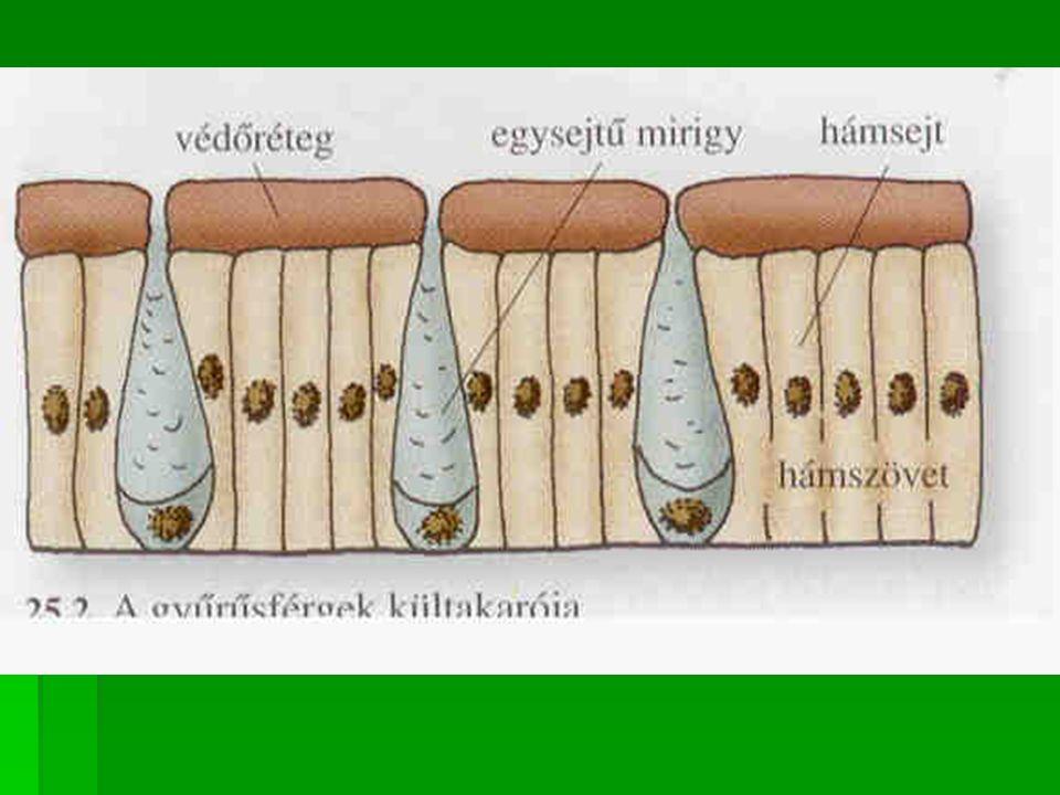 Hüllők: erősen elszarusodott bőr Hámréteg: erősen elszarusodott (alkalmazkodás a szárazföldi élethez) élethez) Képződményei: a szarupikkelyek a szarupajzsok (pikkelyek összeolvadásai) a szarupajzsok (pikkelyek összeolvadásai) a szarupáncél (szarupajzsok és csontlemezek a szarupáncél (szarupajzsok és csontlemezek összenövései ) összenövései ) Növekedéskor a gyíkok és a kígyók hámrétegüket többször levedlik.