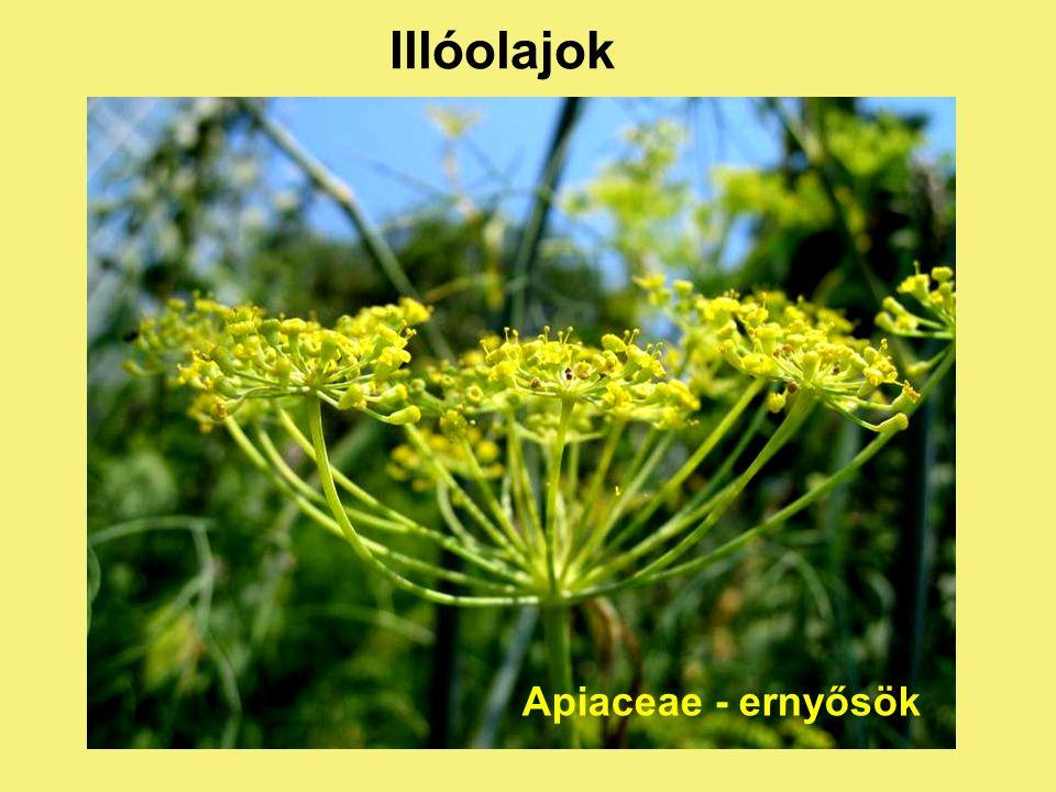 Illóolajok Lamiaceae - ajakosok
