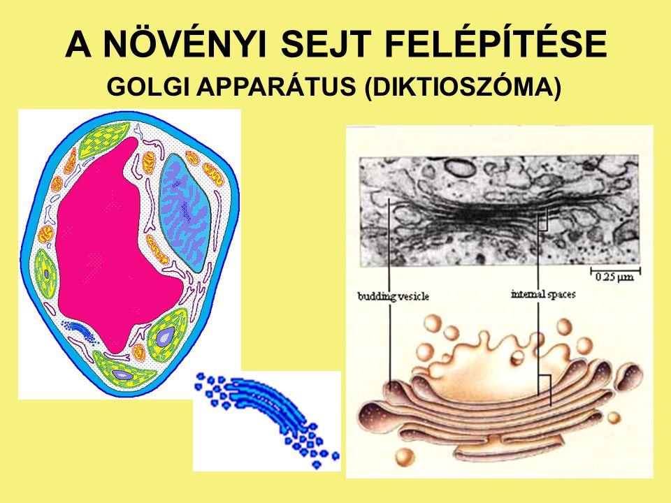 A NÖVÉNYI SEJT FELÉPÍTÉSE A sejtmag és az endoplazmatikus retikulum kapcsolata DER