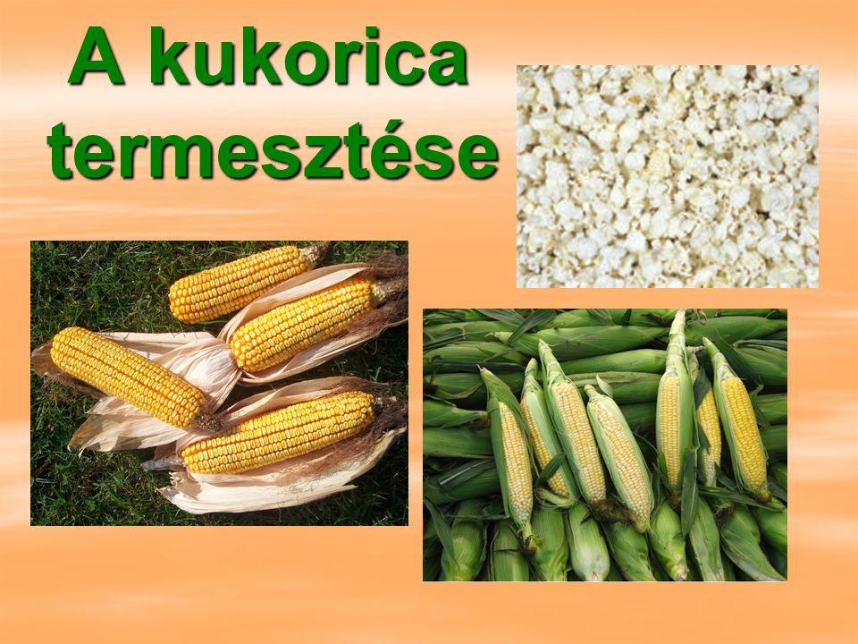 A kukorica termesztése A kukorica termesztése