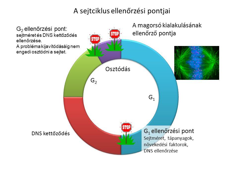 A sejtciklus ellenőrzési pontjai G 1 ellenőrzési pont Sejtméret, tápanyagok, növekedési faktorok, DNS ellenőrzése A magorsó kialakulásának ellenőrző pontja DNS kettőződés G 2 ellenőrzési pont: sejtméret és DNS kettőződés ellenőrzése.