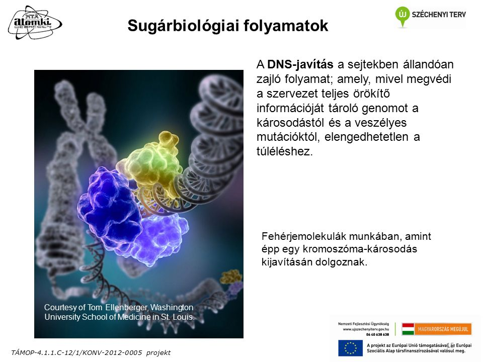 TÁMOP-4.1.1.C-12/1/KONV-2012-0005 projekt 15 A DNS-javítás a sejtekben állandóan zajló folyamat; amely, mivel megvédi a szervezet teljes örökítő információját tároló genomot a károsodástól és a veszélyes mutációktól, elengedhetetlen a túléléshez.