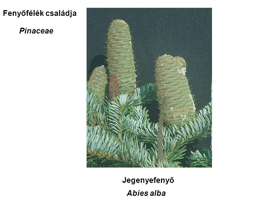 Jegenyefenyő Abies alba Fenyőfélék családja Pinaceae