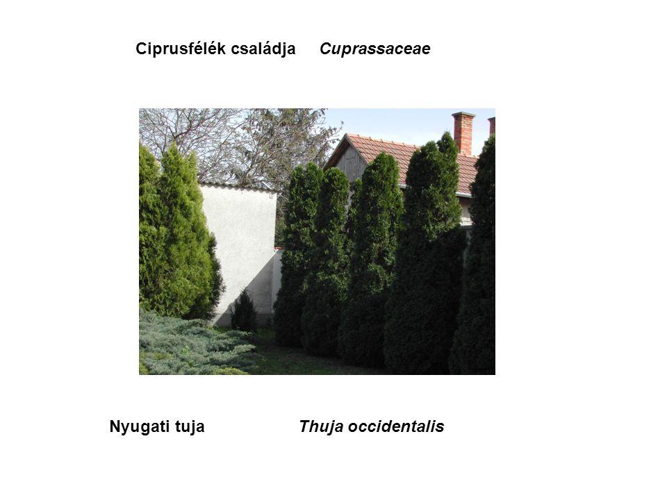 Nyugati tujaThuja occidentalis Ciprusfélék családjaCuprassaceae