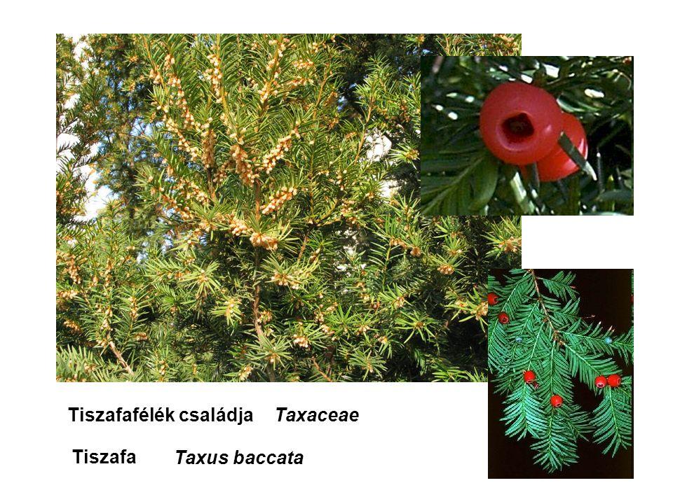 Tiszafafélék családja Taxaceae Tiszafa Taxus baccata