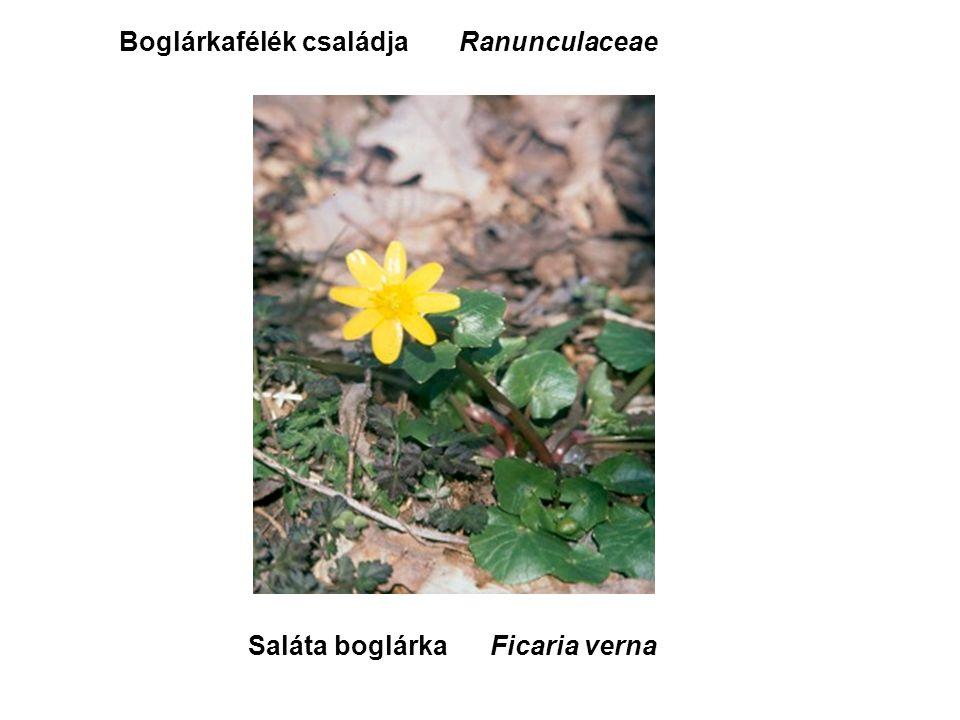 Saláta boglárka Boglárkafélék családjaRanunculaceae Ficaria verna