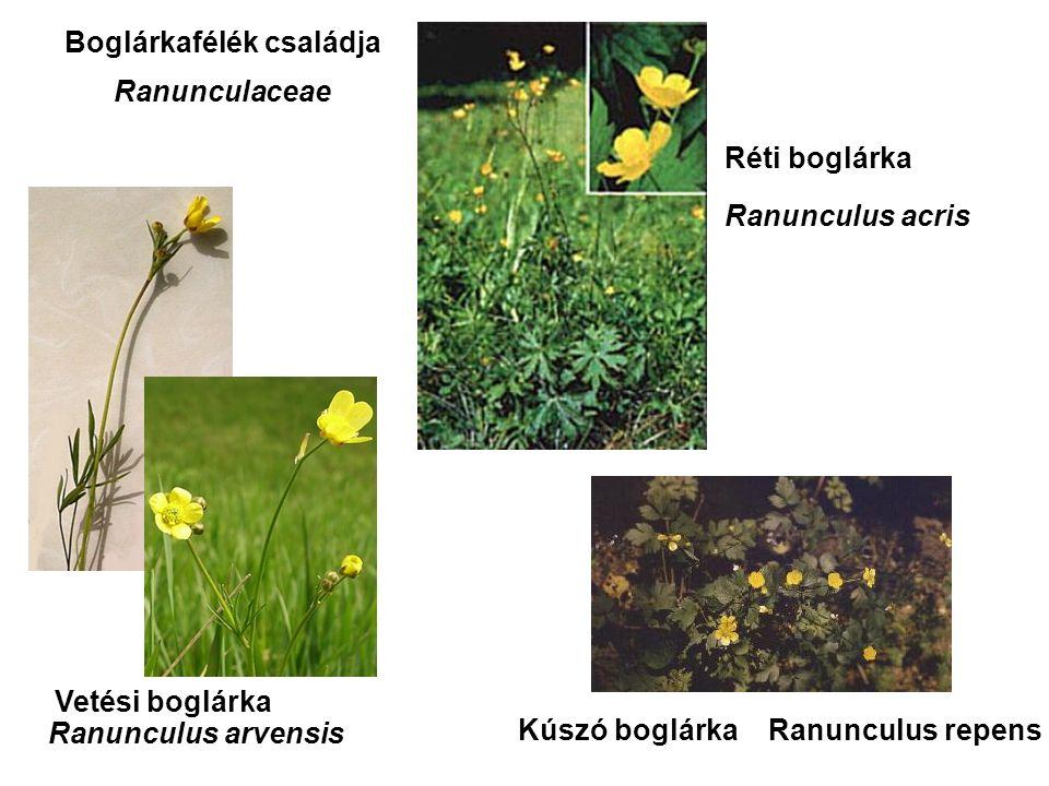 Vetési boglárka Réti boglárka Kúszó boglárka Ranunculus arvensis Ranunculus acris Ranunculus repens Boglárkafélék családja Ranunculaceae