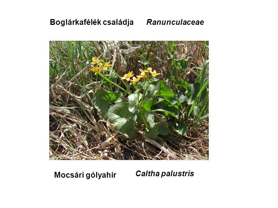 Mocsári gólyahír RanunculaceaeBoglárkafélék családja Caltha palustris
