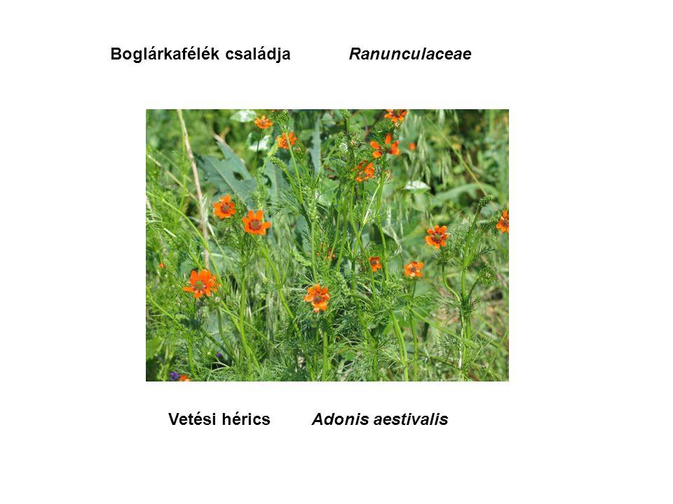 Vetési héricsAdonis aestivalis Boglárkafélék családjaRanunculaceae