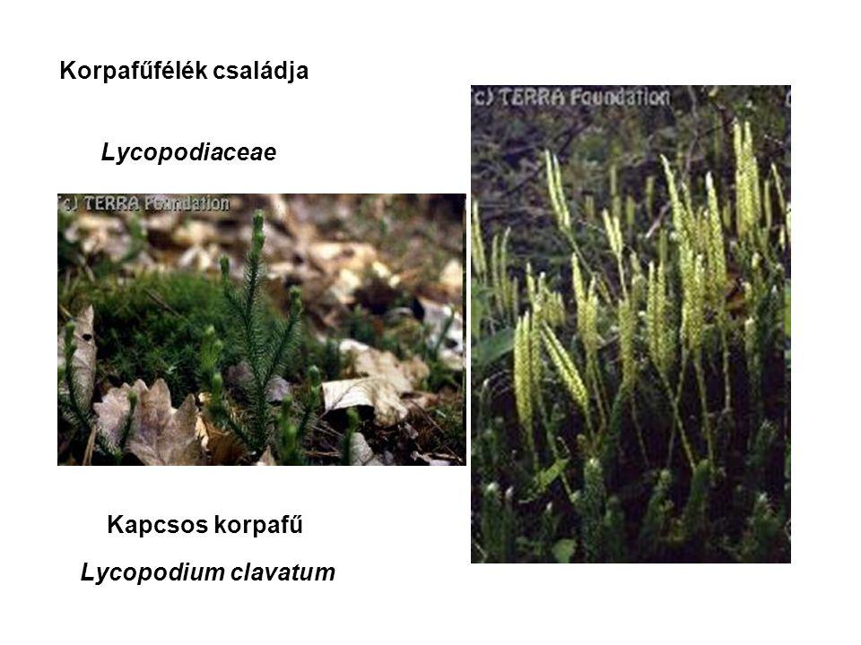 Kapcsos korpafű Korpafűfélék családja Lycopodiaceae Lycopodium clavatum