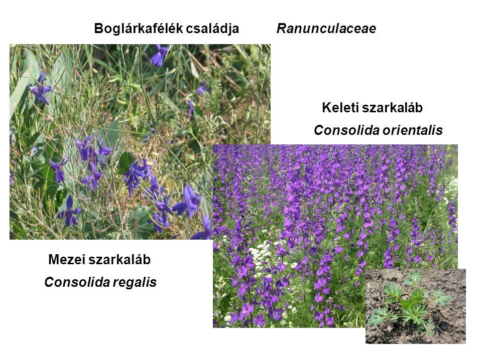 Mezei szarkaláb Keleti szarkaláb Consolida regalis Consolida orientalis Boglárkafélék családjaRanunculaceae