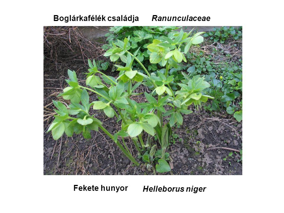Fekete hunyor Helleborus niger Boglárkafélék családjaRanunculaceae