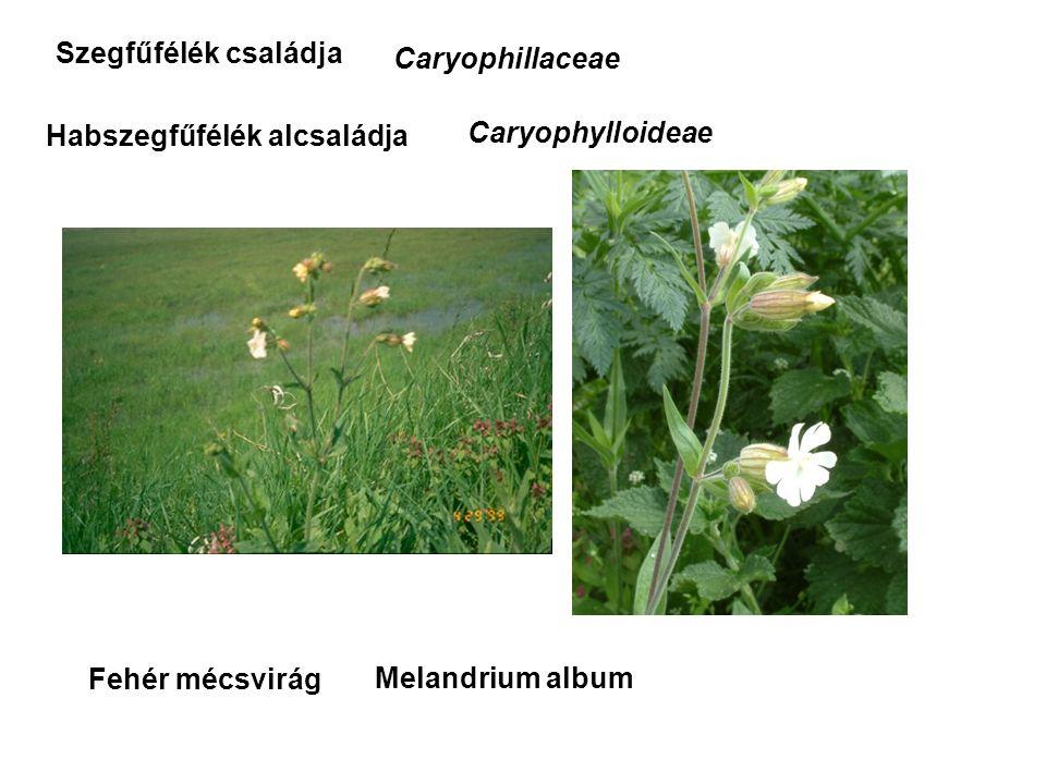 Habszegfűfélék alcsaládja Fehér mécsvirág Szegfűfélék családja Caryophillaceae Caryophylloideae Melandrium album