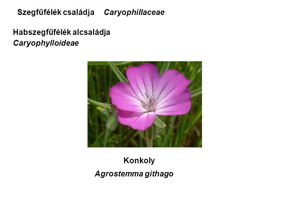 Szegfűfélék családja Konkoly Agrostemma githago Caryophillaceae Habszegfűfélék alcsaládja Caryophylloideae