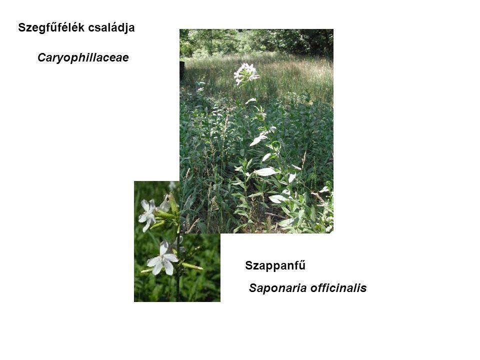 Szappanfű Saponaria officinalis Szegfűfélék családja Caryophillaceae