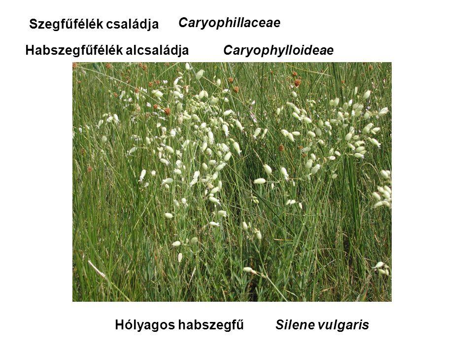 Hólyagos habszegfű Szegfűfélék családja Caryophillaceae Habszegfűfélék alcsaládjaCaryophylloideae Silene vulgaris
