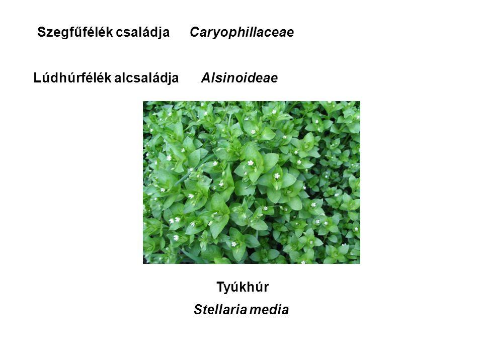 Lúdhúrfélék alcsaládja CaryophillaceaeSzegfűfélék családja Tyúkhúr Stellaria media Alsinoideae
