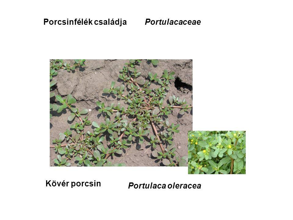 Porcsinfélék családja Kövér porcsin Portulacaceae Portulaca oleracea
