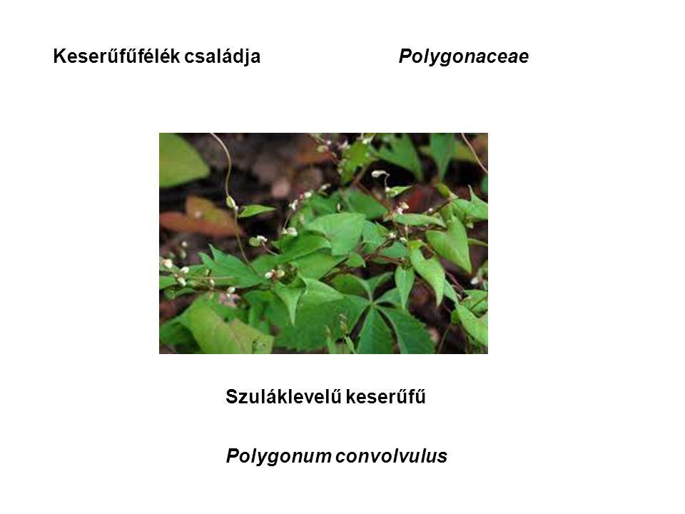 Keserűfűfélék családjaPolygonaceae Szuláklevelű keserűfű Polygonum convolvulus