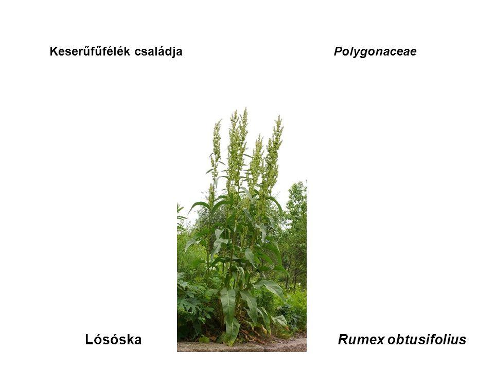 Keserűfűfélék családjaPolygonaceae LósóskaRumex obtusifolius