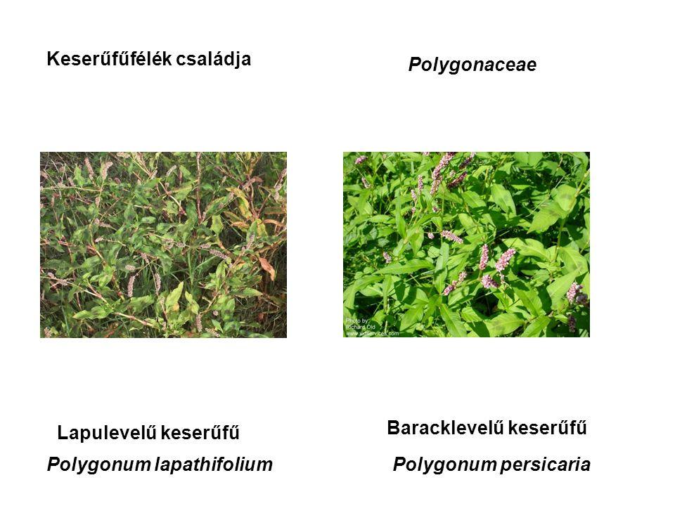 Keserűfűfélék családja Polygonaceae Lapulevelű keserűfű Baracklevelű keserűfű Polygonum lapathifoliumPolygonum persicaria