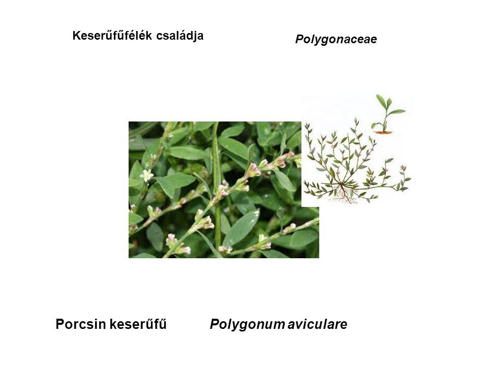 Keserűfűfélék családja Polygonaceae Porcsin keserűfűPolygonum aviculare