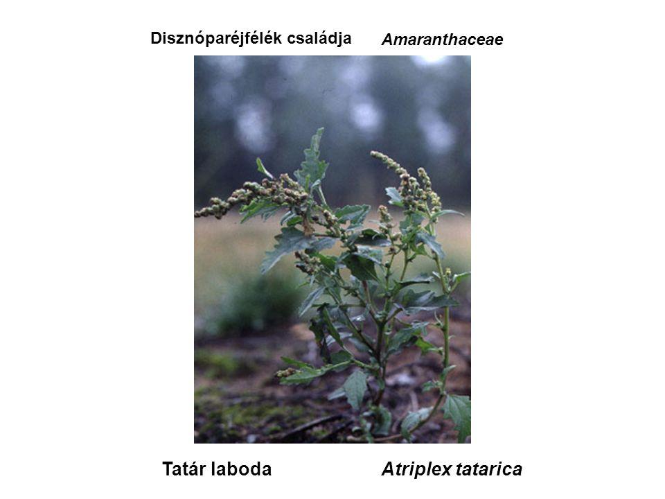 Tatár laboda Disznóparéjfélék családja Amaranthaceae Atriplex tatarica