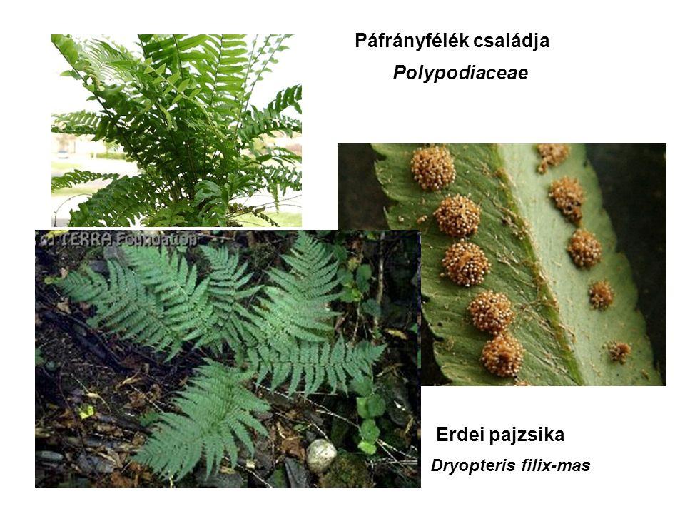 Erdei pajzsika Páfrányfélék családja Polypodiaceae Dryopteris filix-mas