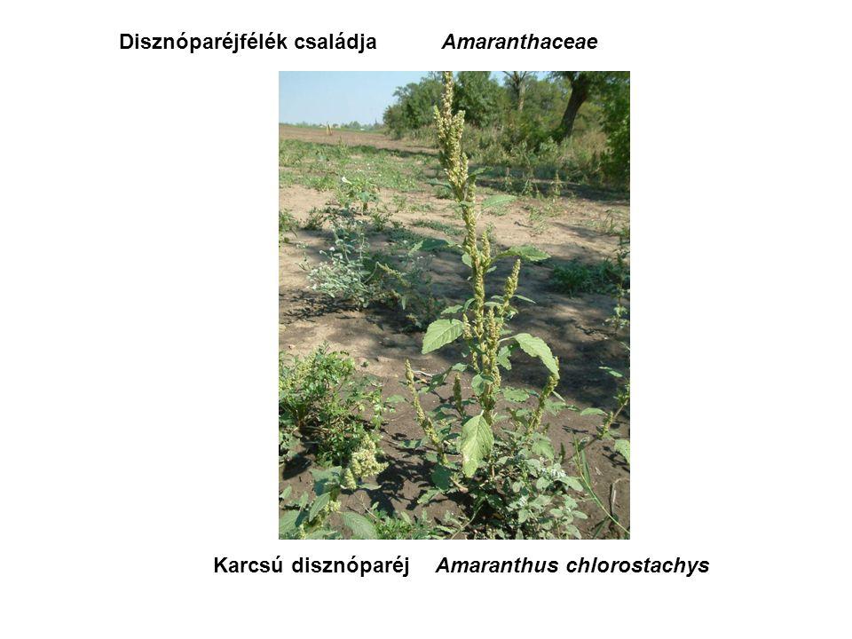Karcsú disznóparéjAmaranthus chlorostachys Disznóparéjfélék családjaAmaranthaceae