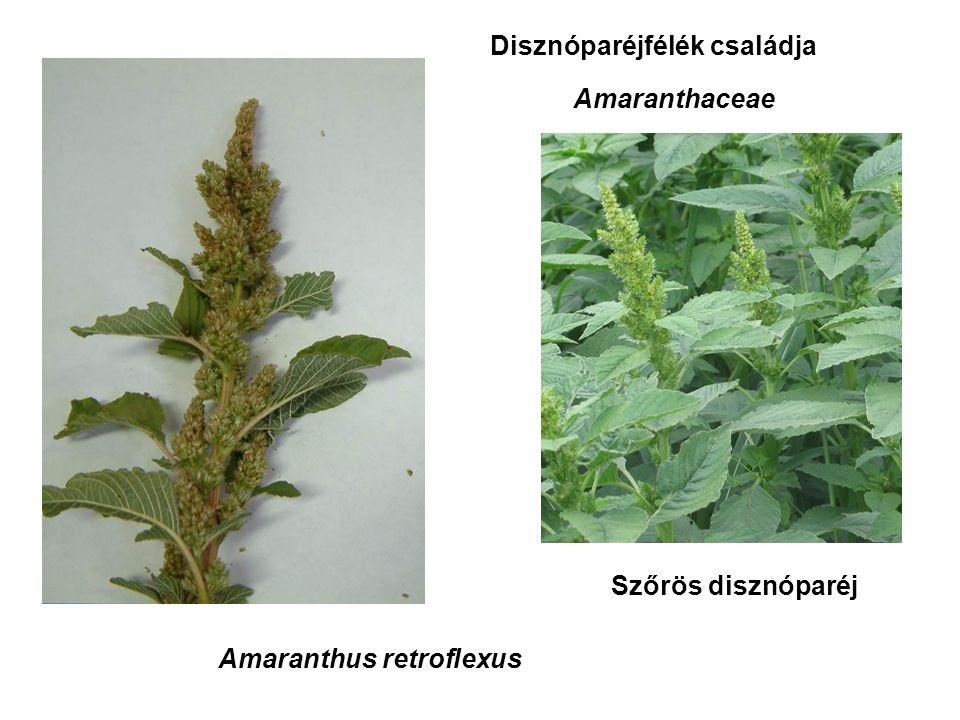Amaranthus retroflexus Disznóparéjfélék családja Amaranthaceae Szőrös disznóparéj