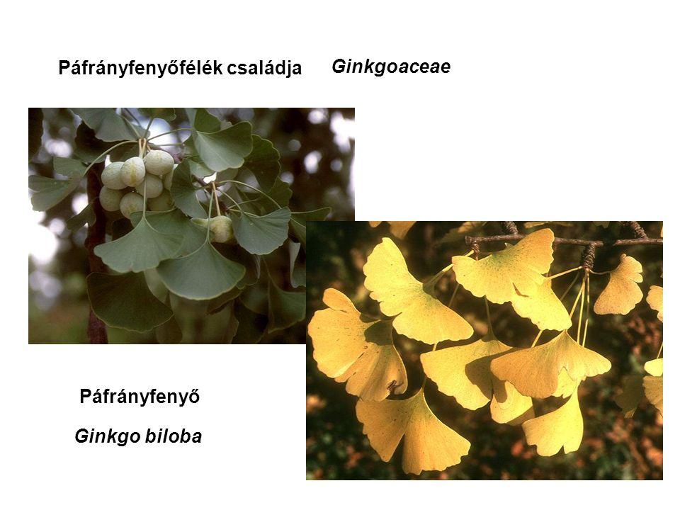 Páfrányfenyőfélék családja Páfrányfenyő Ginkgoaceae Ginkgo biloba