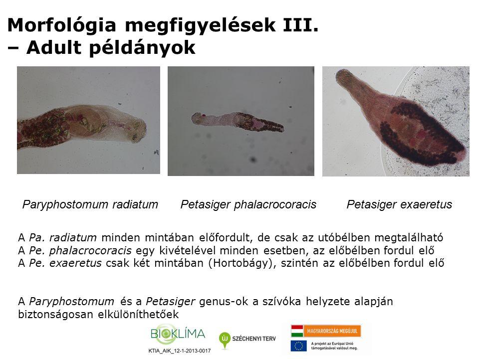 Morfológia megfigyelések III. – Adult példányok Paryphostomum radiatumPetasiger phalacrocoracisPetasiger exaeretus A Pa. radiatum minden mintában előf