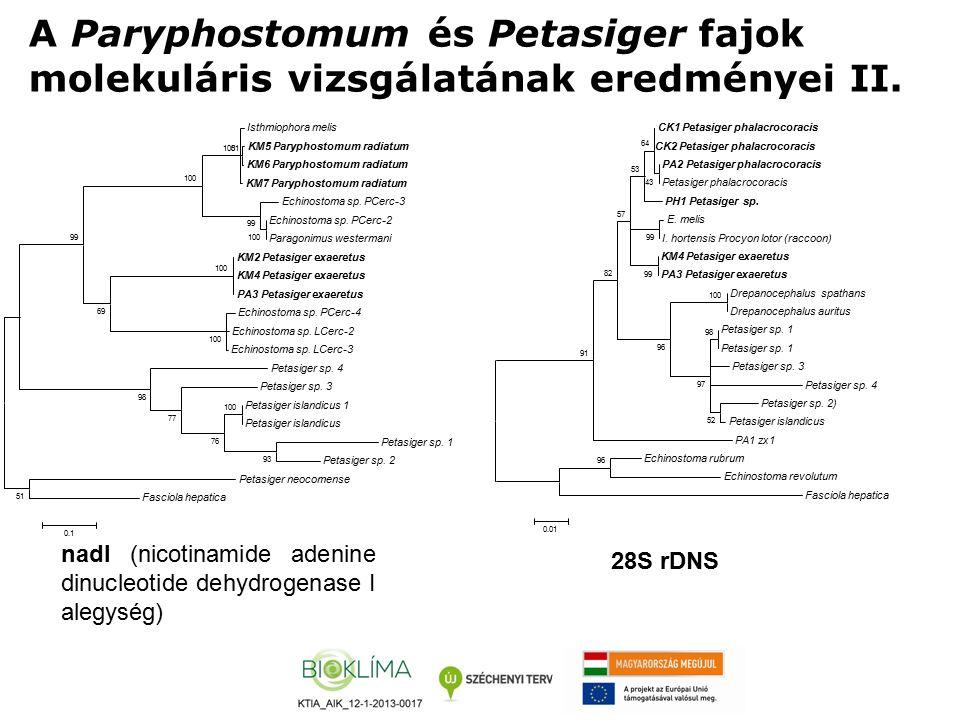 A Paryphostomum és Petasiger fajok molekuláris vizsgálatának eredményei II. Isthmiophora melis KM5 Paryphostomum radiatum KM6 Paryphostomum radiatum K