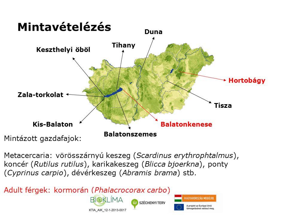 Mintavételézés Hortobágy Kis-Balaton Zala-torkolat Keszthelyi öböl Mintázott gazdafajok: Metacercaria: vörösszárnyú keszeg (Scardinus erythrophtalmus), koncér (Rutilus rutilus), karikakeszeg (Blicca bjoerkna), ponty (Cyprinus carpio), dévérkeszeg (Abramis brama) stb.